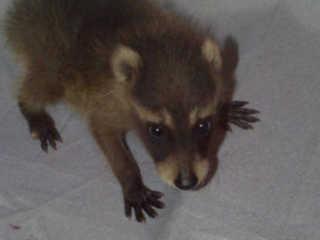 CREATURES *** 1998 Raccoons Raccoon With No Hair